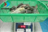 Mahi Mahi - Portion - Size 140/160 - 100%NW - Bag 5KG - Checking Net Weight after Defrosted