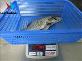 Barramundi - WR - Gutted & Scaled - Size 900GR UP - 100%NW - Check Fish after Defrosted